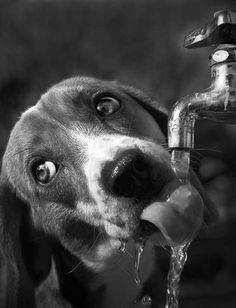 Thirsty pup