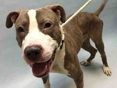 JEDI - A1100799 - - Brooklyn  Please Share:TO BE DESTROYED 01/07/17**ON PUBLIC LIST** -  Click for info & Current Status: http://nycdogs.urgentpodr.org/jedi-a1100799/