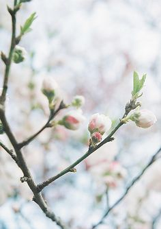 Is anything more beautiful than a cherry blossom? Spring Is Coming, Spring Is Here, Hello Spring, Welcome Spring, Spring Sign, Floral, All Nature, Spring Blossom, Spring Has Sprung