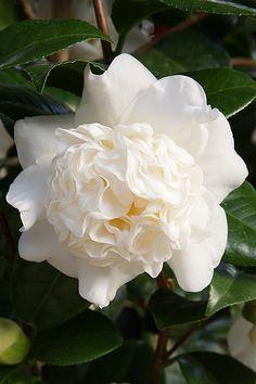 Camellia japonica 'Snowball' (U.S., 1932)