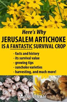 Jerusalem Artichokes are one of the toughest survival crops you could raise. We tell you everything you need to know about this no-fail survival crop. Perennial Vegetables, Planting Vegetables, Growing Vegetables, Veggies, Growing Jerusalem Artichoke, Artichoke Plants, Homestead Gardens, Plant Diseases, Wild Edibles