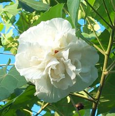 Double White Confederate Rose, Cotton Rose Mallow,Hibiscus mutabilis 'Tri-Color' - Almost Eden White Hibiscus, Hibiscus Plant, Hibiscus Flowers, Tropical Flowers, Hydrangea Macrophylla, Rare Flowers, White Flowers, Moon Garden, Home Garden Plants