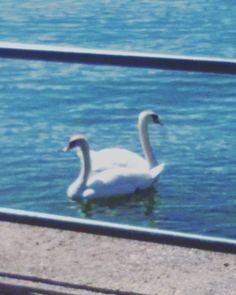 Gemunden Swan, Bird, Animals, Animales, Animaux, Swans, Birds, Animal, Birdwatching