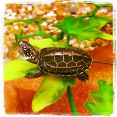 Reeve's turtle