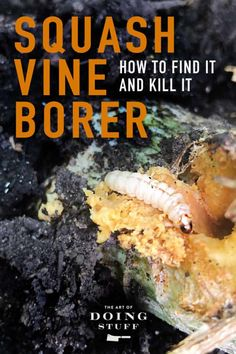 Have a squash vine that suddenly wilts and dies? You probably have squash vine borer. Here's how to identify it, kill it and save your squash. Growing Zucchini, Zucchini Plants, Growing Veggies, Growing Squash, Water Garden, Lawn And Garden, Outdoor Plants, Outdoor Gardens, Organic Gardening