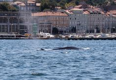 Due balenottere avvistate nel golfo di Trieste