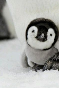 Baby Penguin!! So precious!!!