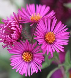 Garden Flowers - Annuals Or Perennials Aster September Ruby - Blooms Late I The Season For A Burst Of Color. Grows And Is A Tough, Reliable Perennial. Birth Flowers, Pink Flowers, Autumn Flowering Plants, Jasmine Plant, Aster Flower, Gardening Zones, Gardening Tips, Annual Plants, Gardens