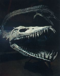 Close-up of the skull and teeth of the Puntledge River elasmosaur
