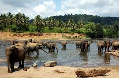 Pinnawala, Sri Lanka - My favourite place in Sri Lanka!!  I was there twice and could have watched elephant bathtime all day.