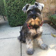 Guys check out my brand new bow tie!  Thanks  for the pawesome present.  #cute #cutepuppy #puppy #puppies #puppiesofinstagram #instapup #puppylove #dog #dogs #cutedog #dogsofinstagram #dogoftheday #ilovemydog #schnauzer #furbaby #schnauzers #schnauzerlove #schnauzerchallenge #schnauzerpuppy #schnauzersofinstagram #minischnauzer #miniatureschnauzer #saltandpepperschnauzer #ilovemyschnauzer #arlotheschnauzer #puppyeyes #puppyface #bowtie #dogbowtie #dogphotography by arlotheschnauzer