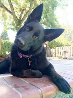 10 reasons why German Shepherds are the best dogs - art breeds cutest funny training bilder lustig welpen Positive Dog Training, Training Your Dog, Training Pads, Crate Training, Training Classes, Training Videos, Potty Training, Schaefer, Yorkshire Terrier Puppies