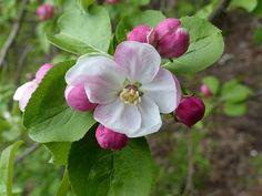 http://faaxaal.forumactif.com/t2399-photos-d-arbre-fruitier-pommier-malus-domestica