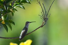 Hummingbird on a branch