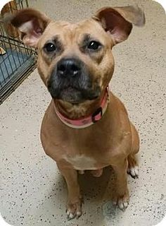 Staten Island, NY - Louie's Legacy Animal Rescue, Pit Bull Terrier Mix. Meet Sage, a dog for adoption. http://www.adoptapet.com/pet/12469325-staten-island-new-york-pit-bull-terrier-mix