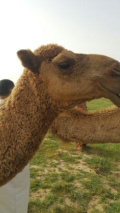Camel in the desert of Saudi Arabia Riyadh