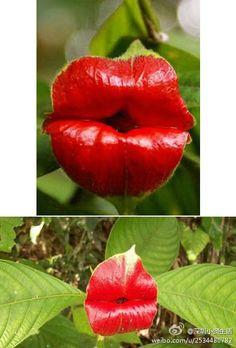 """【来~亲一个~】这种植物的学名叫""""Psychotria Elata"""",也叫""""嘴唇花""""(Flower of Lips)。这种颜色鲜红的花朵不用抛""""飞吻""""就能吸引来蜂鸟和蝴蝶等传粉昆虫。这种植物可以在美国的哥斯达黎加以及哥伦比亚等森林地区找到。"""