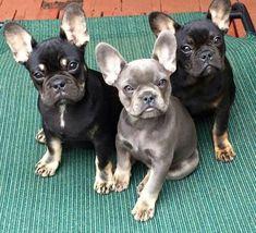 Beautiful French Bulldog Puppies #buldog #frenchbulldogscare Cute French Bulldog, French Bulldog Puppies, French Bulldogs, Animals And Pets, Baby Animals, Cute Animals, Cute Puppies, Cute Dogs, Bullen