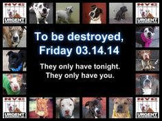TO BE DESTROYED!!!! 03/14/14! PITTIES ARE IN DANGER AGIAN AS USUAL, DO SOMETHING TO SAVE THEM! WE ARE THEIR LAST HOPE! THEY ALL COUNT ON US!!! LET'S NOT LET THEM!!! PLEASE OPEN YOUR HEARTS AND PLEDGE, TAKE THEM HOME, BUT BE QUICK AS TIME IS TICKING AWAY. THE LIST IS VERY LONG AGAIN AND WE SO LITTLE TIME SO BE QUICK WHEN MAKING UP YOUR MIND!!!! https://www.facebook.com/media/set/?set=a.611290788883804.1073741851.152876678058553&type=3