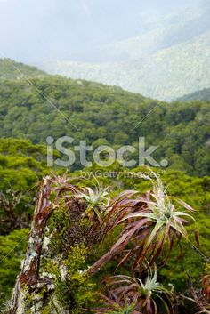 Mountain Neinei (Dracophyllum traversii) , New Zealand Royalty Free Stock Photo