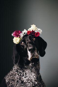 german shorthair pointer weraing a flower crown | animals + pet photography #dogs #animalphotography