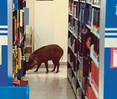 WILD BOAR CRASHES THROUGH GLSAA PANEL INTO LIBRARY IN MALAYSIA - The wild boar was trapped for almost two hours at a library in Malaysia Multimedia University (MMU) in Cyberjaya.