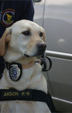 Rocket, a Golden Retriever, serves Los Angeles as an arson K-9. Police Dogs - policemag.com - POLICE Magazine