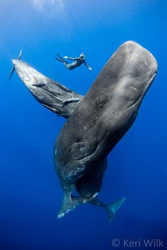 Three sperm whales with a swimmer in Dominica. Shot under government permit.