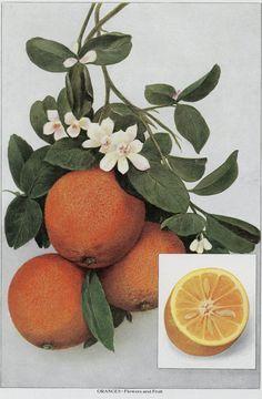 """Matted Antique Orange Print Flowers & Fruit C. 1911 Grocer's Encyclopedia Lithograph 11x14"""" Vintage Decor"""