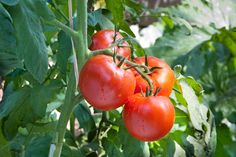 How We Prune Tomatoes For A Healthy, Productive Crop