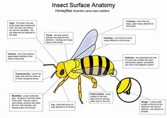 Bees Diagram Of Front Legs - Example Electrical Wiring Diagram •