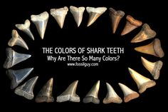 Why are shark teeth different colors? Why are fossils different colors? Here is an explanation of why fossils and shark teeth are different colors. Megalodon, Shark Tooth Tattoo, Shark Teeth Crafts, Fossil Hunting, Shark Bait, Teeth Whitening Diy, Marine Biology, Shark Week, Sharks
