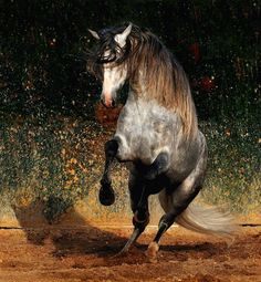 Spanish Horses (Andalusians), Lusitanos, Shagyas – Impressionist   Generally standing between 62 – 66 inches, (157 and 168 cm) high, Andalusian horses are both elegant and strongly built.  Image Credit: Wojtek Kwiatkowski