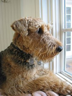 Airedale Terriers are one of the most loyal dogs you will ever own, they are Amazing❤