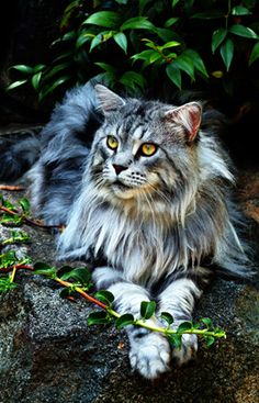As well as wanting the biggest, fluffiest dog I also want the biggest, fluffiest cat too! Maine coon cat