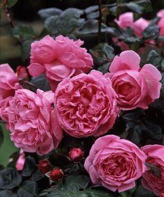 Rose called Bishops castle