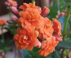 ~Kalanchoe grandiflora