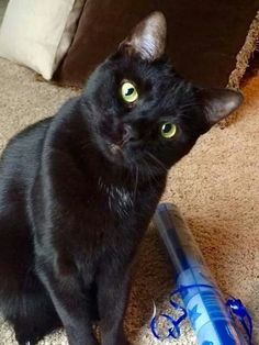 I want a black cat. Crazy Cat Lady, Crazy Cats, Pretty Cats, Beautiful Cats, I Love Cats, Cool Cats, Kittens Cutest, Cats And Kittens, Chat Maine Coon