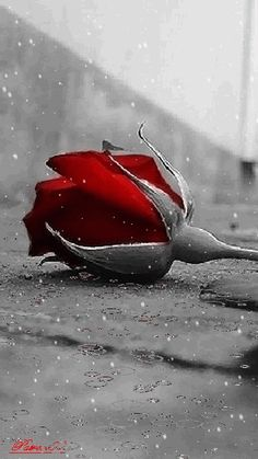 Rain on my rose Roses Gif, Flowers Gif, Beautiful Rose Flowers, Beautiful Flowers Wallpapers, Beautiful Gif, Red Flowers, Red Roses, Love Heart Images, Love You Images