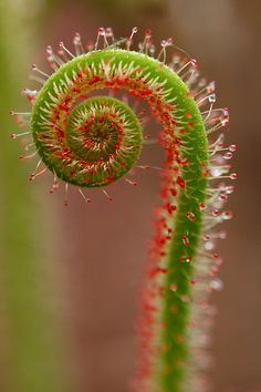 "Fractal spiral - This Tim Burtonesque carnivorous plant is ""Drosera"" which is often called ""sundew"". It has the largest family with 194 species among carnivorous plants and it's maybe the most attractive one too. Unusual Plants, Cool Plants, Unusual Flowers, Art Fractal, Spirals In Nature, Carnivorous Plants, Patterns In Nature, Ikebana, Natural World"