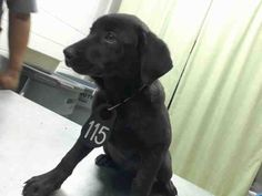 04/29/17-~~SEE VIDEO!!OWNER SURRENDER=NO HOLD TIME REQ'D~~ HOUSTON-EXTREMELY URGENT - AVERY - ID#a482252    I have a possible adopter.    I am a female, black and white Labrador Retriever mix.    The shelter staff think I am about 5 months old.    I have been at the shelter since Apr 27, 2017.  Harris County Public Health and Environmental Services.  https://www.facebook.com/harriscountyanimalsheltervolunteers/videos/499931690131076/
