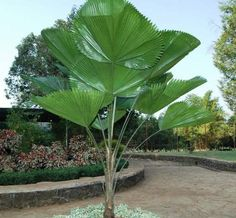 Plants That Clean The Air Indoors For Better Breathing Real Plants, Exotic Plants, Tropical Plants, Tropical Garden Design, Tropical Backyard, Palm Trees Landscaping, Backyard Landscaping, Palm Plant, Trees To Plant