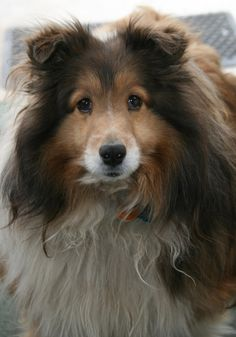https://flic.kr/p/9QjSAx | dog | Cute sheltie dog I met.