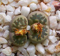 Lithops dorothae C124