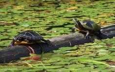 Cómo saber el sexo de una tortuga