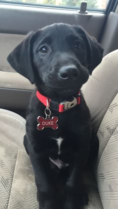 My little man, Duke! Black lab puppy with a big heart just full of LOVE ❤️