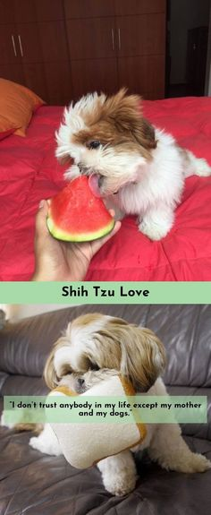Discover more about Shih Tzu #ShihTzu Please click here to read more