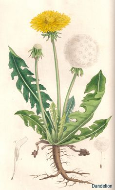 This is a commercial website selling herbal products that has a small collection of wonderful, high quality herbal botanical images. If you have need of vintage, herbal botanical illustrations, these are very good.