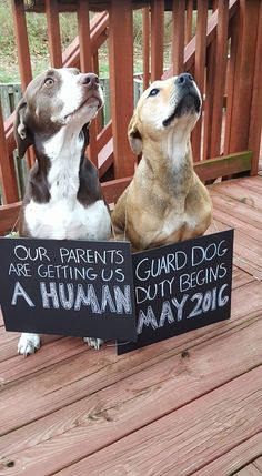 Pregnancy announcement with dogs …