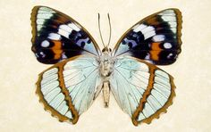 Rare Seafoam Blue Unusual Framed Butterfly